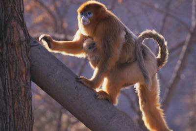 Golden Snub-Nosed Monkey with Baby Climbing Tree