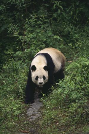 Giant Panda Walking on Forest Floor