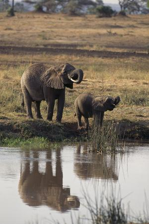 Baby African Elephant with Mother Drinking from River