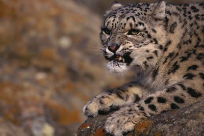 Snow Leopard Snarling on Rock