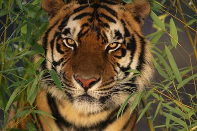 Tiger Sitting among Bamboo Leaves