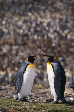 King Penguins Touching Beaks