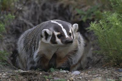 American Badger in Burrow