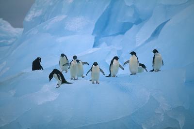 Adelie Penguins Walking on Ice Floe