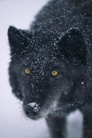 Black Gray Wolf in Snow