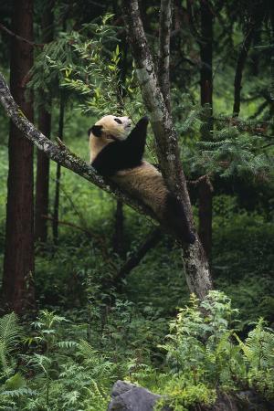 Panda Lying in Tree