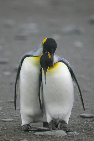 King Penguins Engaging in Mating Ritual