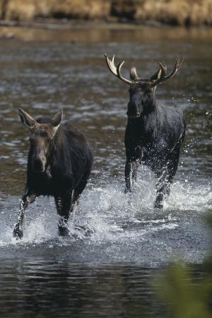 Moose Running in River