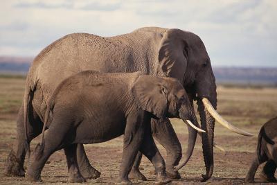 African Elephants Walking on Savanna