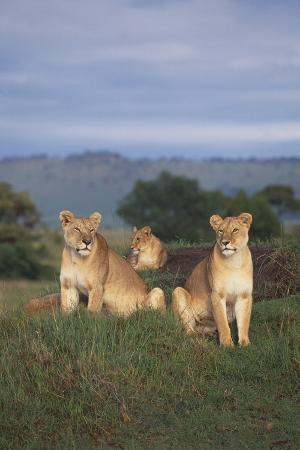Two Lions Guarding One Cub