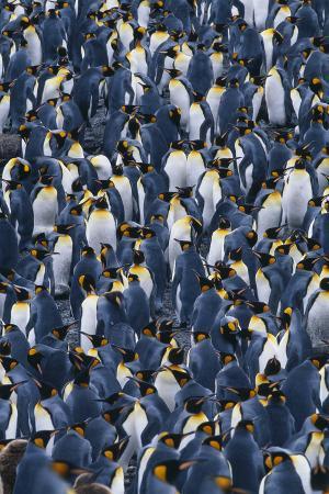 Flock of King Penguins