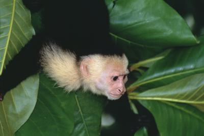 Capuchin Climbing down Leaves