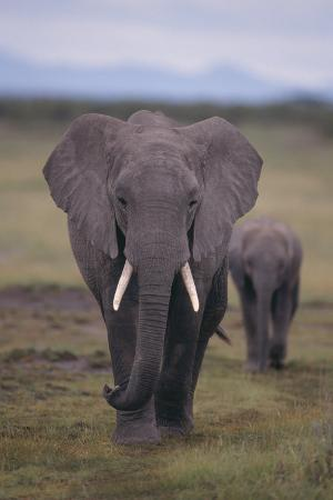 Adult and Young Elephant