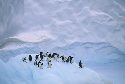 Adelie Penguins on Ice Floe