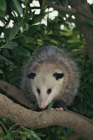 Virginia Opossum in Tree