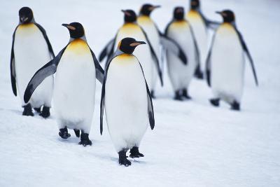 King Penguins Walking in Snow