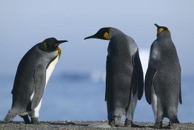 King Penguins on Rocky Beach