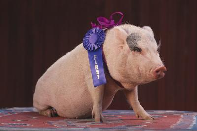 Blue Ribbon Pig