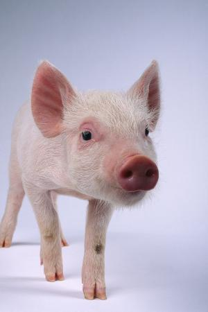 Yorkshire Piglet