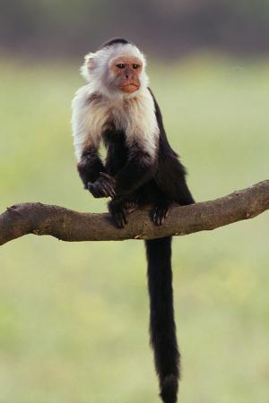 Cranky Capuchin