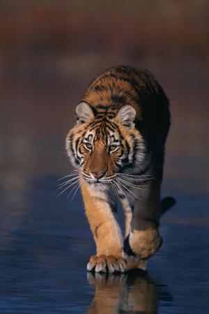 Bengal Tiger Walking on Beach