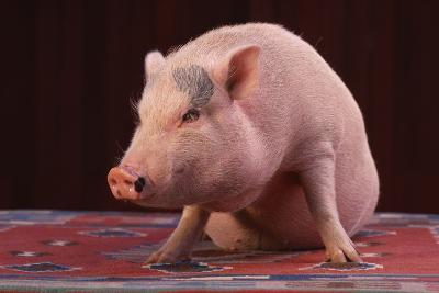 Sitting Pot-Bellied Pig