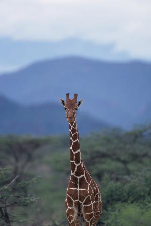 Reticulated Giraffe Standing among Trees