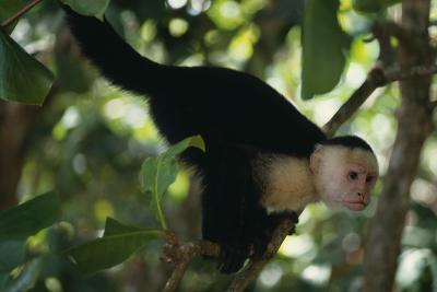 Capuchin Balancing on Branch