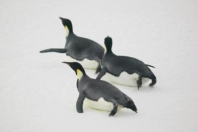 Emperor Penguins Tobogganing on Ice