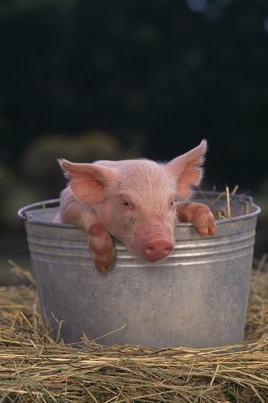 Piglet in a Pail