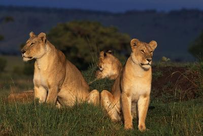 Lionesses in Grass