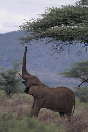 Adult Elephant Reaching for Tree Leaves