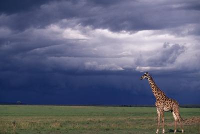 Masai Giraffe in Savanna