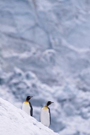 King Penguins Climbing Snow Hill