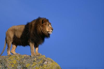African Lion Standing on Boulder