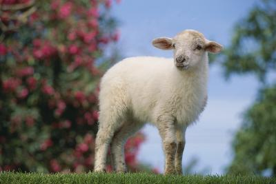 Lamb in Grass