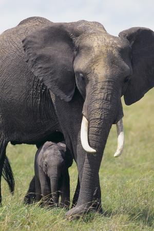 Bull Elephant and Baby