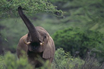 Elephant Pulling Leaves off Tree