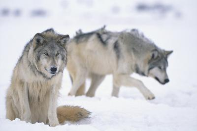 Gray Wolves in Snow