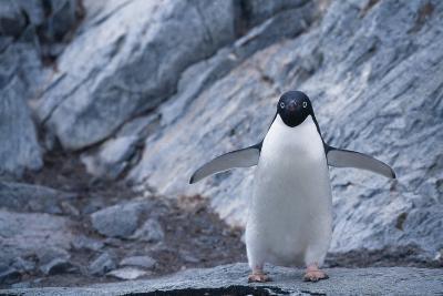 Adelie Penguin Standing on Rocks