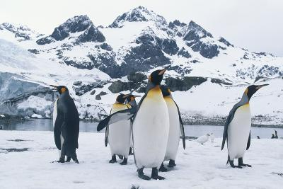King Penguins Facing Different Directions