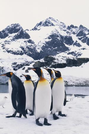 King Penguins Looking in Same Direction