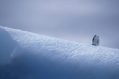 Chinstrap Penguins Standing on Ice