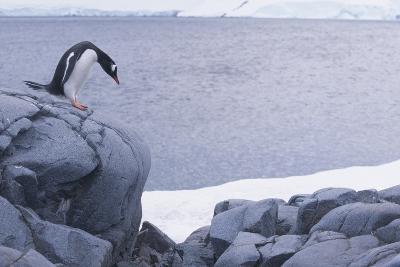 Gentoo Penguin Looking at Steep Drop