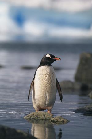 Gentoo Penguin Standing in Water