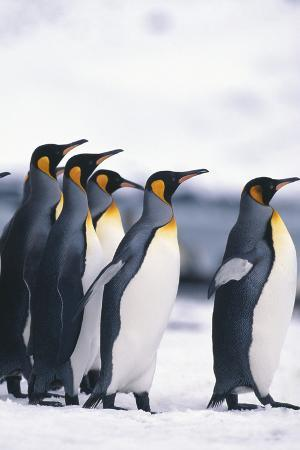 King Penguin Leading Friends