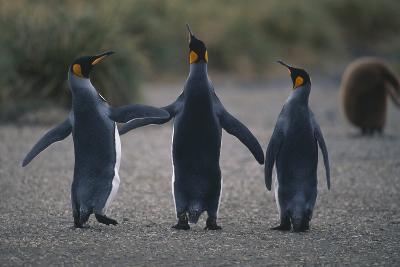 King Penguins Walking Together