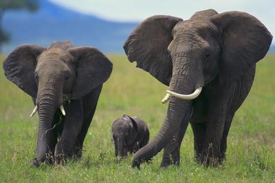 African Elephant Calf Walking between Adults