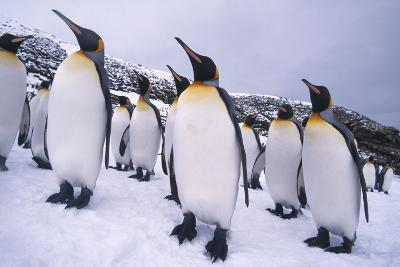 Penguins Looking Mostly in One Direction
