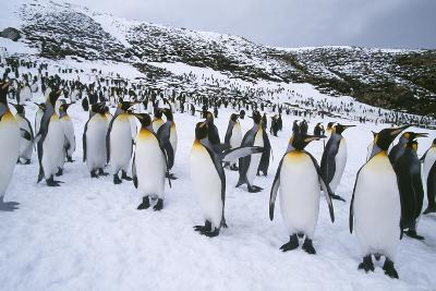 Crowd of King Penguins